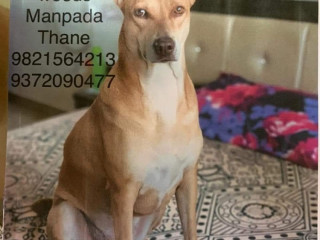 Pet missing from Neelkanth Woods manpada