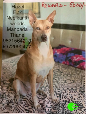 pet-missing-from-neelkanth-woods-manpada-big-0