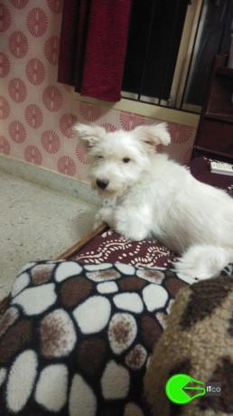 pet-missing-from-puraswakkam-big-0