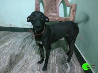 Pet found in Velachery, chennai