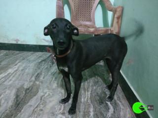 Pet found in Velachery, chennai