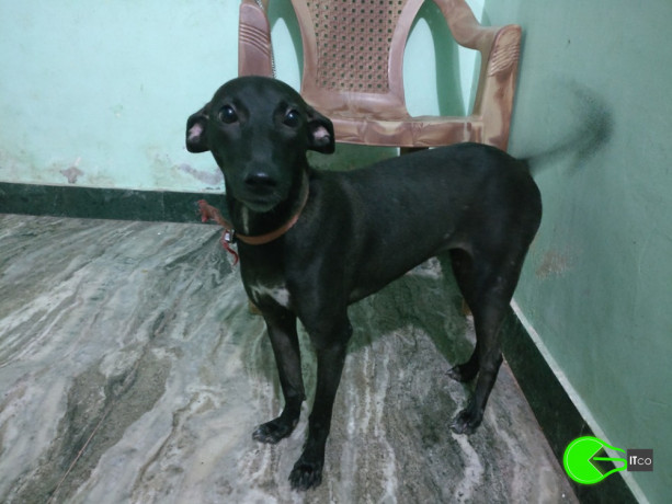 pet-found-in-velachery-chennai-big-0