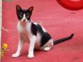 cat-missing-from-vasai-west-8th-ashtvinayak-lane-small-0