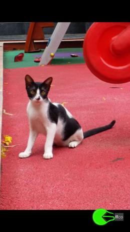 cat-missing-from-vasai-west-8th-ashtvinayak-lane-big-0