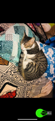 cat-missing-from-vakola-santacruz-big-1
