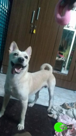 male-dog-lost-near-amboli-jogeshwari-west-big-0