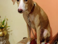 puppy-missing-from-panvel-small-2