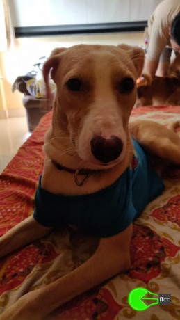 puppy-missing-from-panvel-big-1