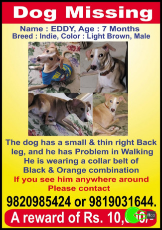 puppy-missing-from-panvel-big-3