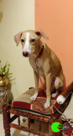 puppy-missing-from-panvel-big-2