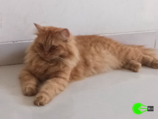 Golden brown persian cat_MISSING