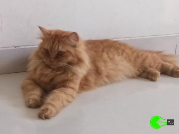 golden-brown-persian-cat-missing-big-0