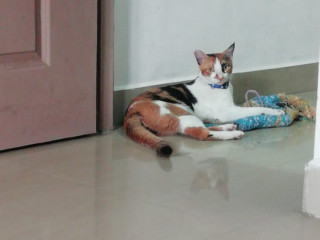 Cat missing from Rajan street kannan avenue West Tambaram