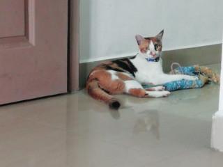 Cat missing from Rajan street kannan avenue West Tambaram