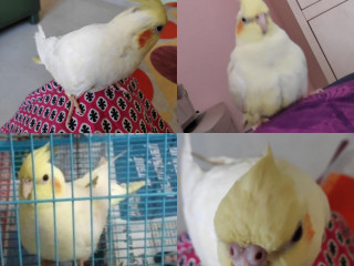 Lost my lutino cockatiel