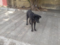 found-an-black-male-dog-coolie-small-2