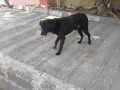 found-an-black-male-dog-coolie-small-0