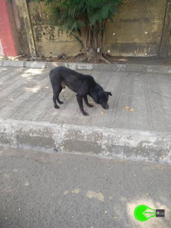 found-an-black-male-dog-coolie-big-1