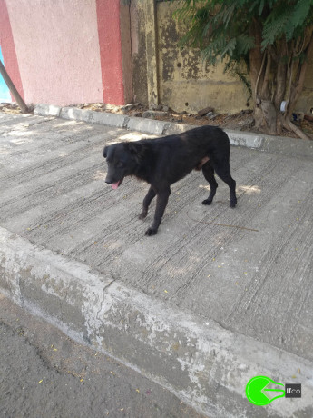 found-an-black-male-dog-coolie-big-0