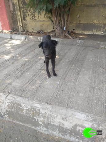 found-an-black-male-dog-coolie-big-3