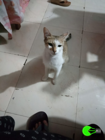 missing-cat-in-aurangabad-mh-big-1