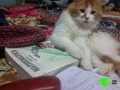 my-persian-cat-louie-has-been-untraceable-for-a-few-years-small-2