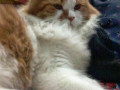 my-persian-cat-louie-has-been-untraceable-for-a-few-years-small-3