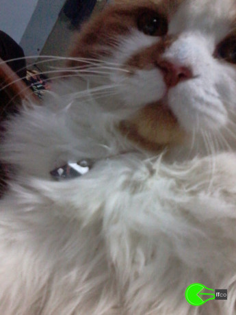 my-persian-cat-louie-has-been-untraceable-for-a-few-years-big-4