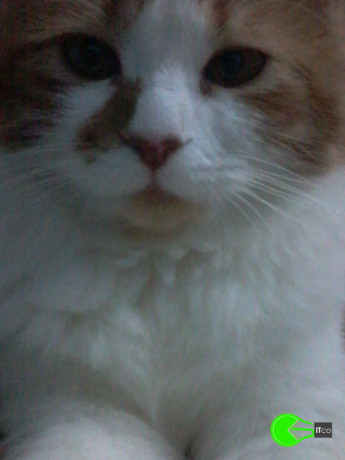 my-persian-cat-louie-has-been-untraceable-for-a-few-years-big-1