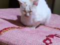 indian-cat-missing-please-help-me-find-her-small-0