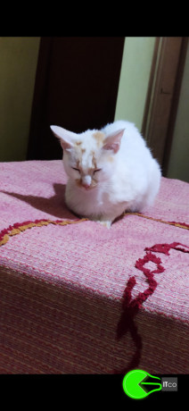 indian-cat-missing-please-help-me-find-her-big-0