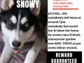 lost-missing-husky-female-small-0