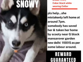 Lost - Missing husky female