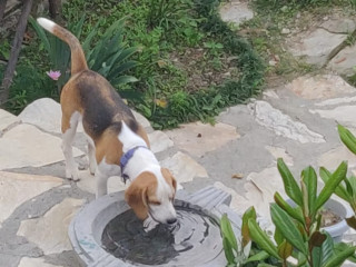 Lost a beagle on 1st Oct in Uttarakhand from village Parwara near Mukteshwar. The name is Leo and he is a year and half old.