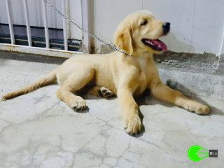 Lost 3 month male puppy Golden Retriever