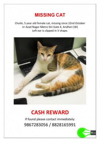 cat-missing-in-andheri-w-nr-azad-nagar-metro-stn-gate-4-since-22-oct-cut-on-left-ear-5yof-big-1