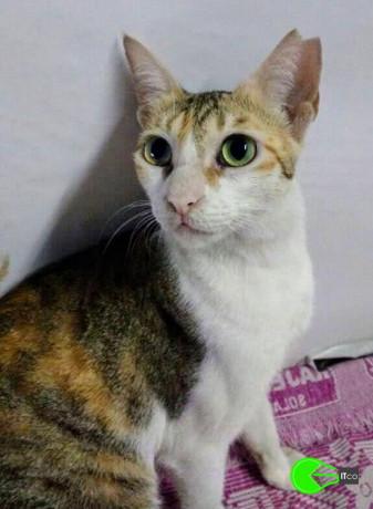 cat-missing-in-andheri-w-nr-azad-nagar-metro-stn-gate-4-since-22-oct-cut-on-left-ear-5yof-big-0