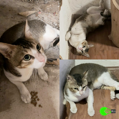 lost-cat-found-near-lokhandwala-looks-very-scared-and-is-friendly-big-0