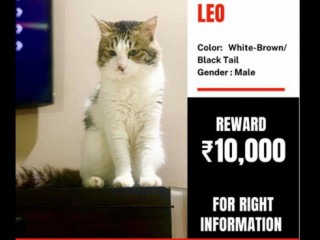 A cat missing from Kothrud, Pune