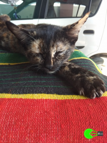 i-lost-my-cat-from-near-my-house-from-12-jan2020-big-0