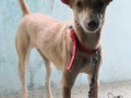 lost-female-country-dog-sharma-nagar-small-1