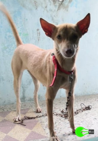 lost-female-country-dog-sharma-nagar-big-1