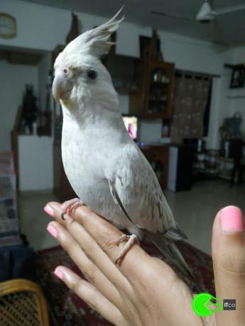 grey-white-cockatiel-lost-big-2