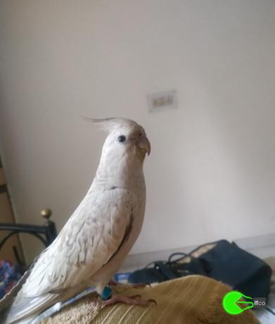grey-white-cockatiel-lost-big-1