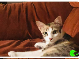 Missing female cat - tri-coloured cat (Orange, white, dark grey) - missing since a week