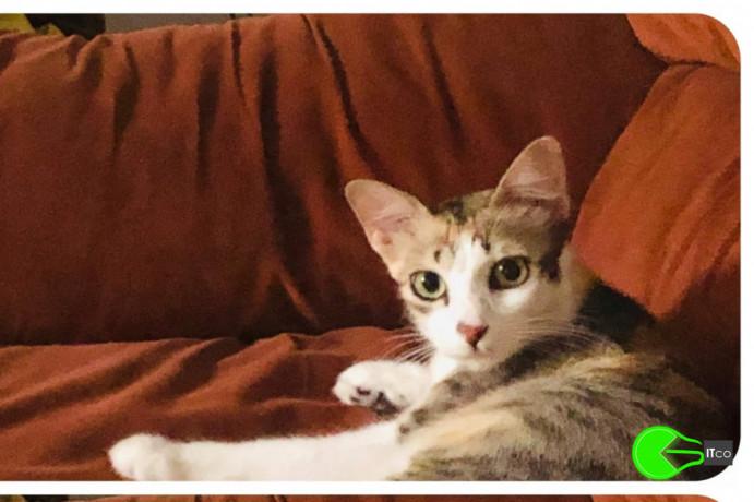 missing-female-cat-tri-coloured-cat-orange-white-dark-grey-missing-since-a-week-big-0
