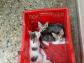 3-kittens-lost-on-april-5-2021-in-mandaveli-area-chennai-small-0