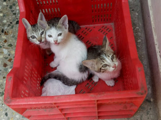 3 kittens lost on April 5 2021 in mandaveli area chennai
