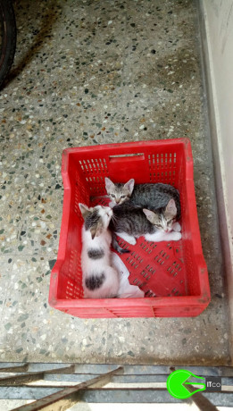 3-kittens-lost-on-april-5-2021-in-mandaveli-area-chennai-big-0