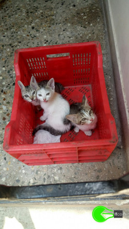 3-kittens-lost-on-april-5-2021-in-mandaveli-area-chennai-big-1